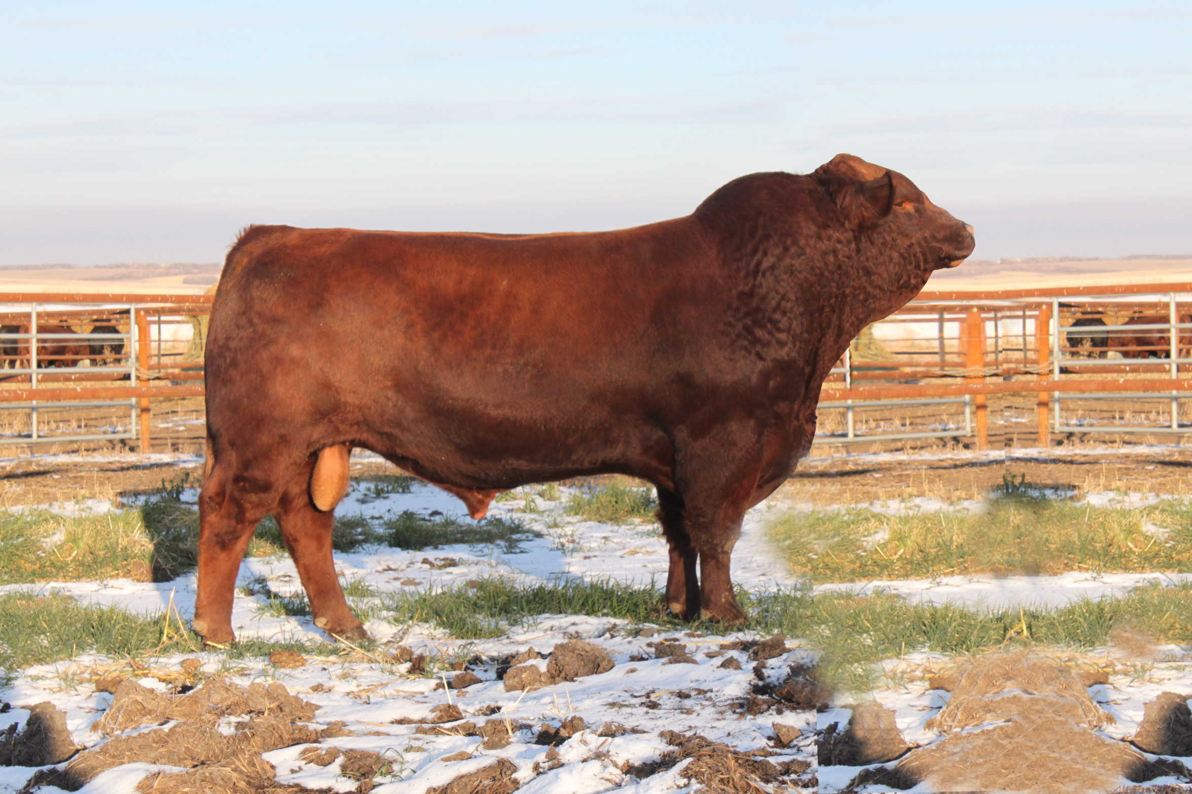 gelbvieh cattle - photo #26